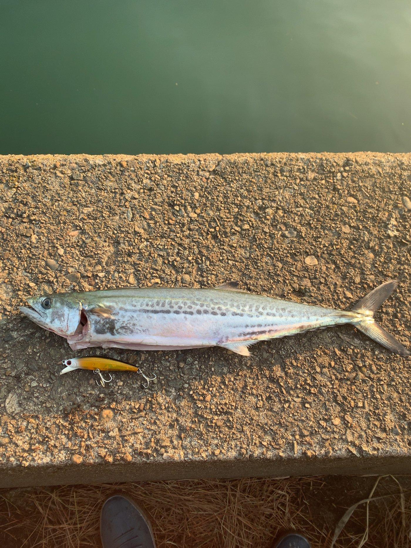 お猿のまんきーさんの投稿画像,写っている魚はサワラ,