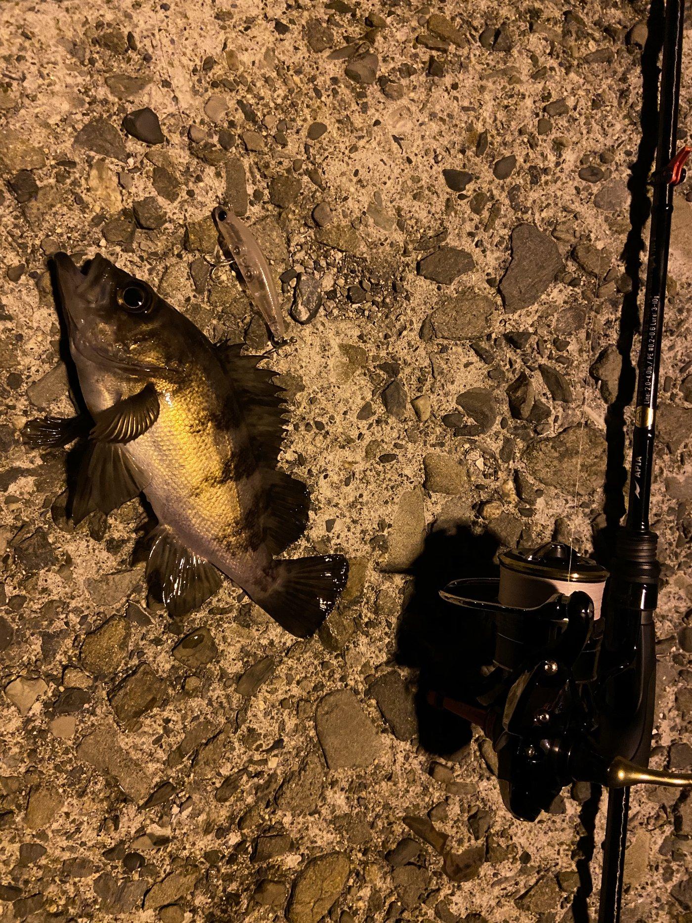 ちょくと@釣りでっきょんさんの投稿画像,写っている魚はメバル