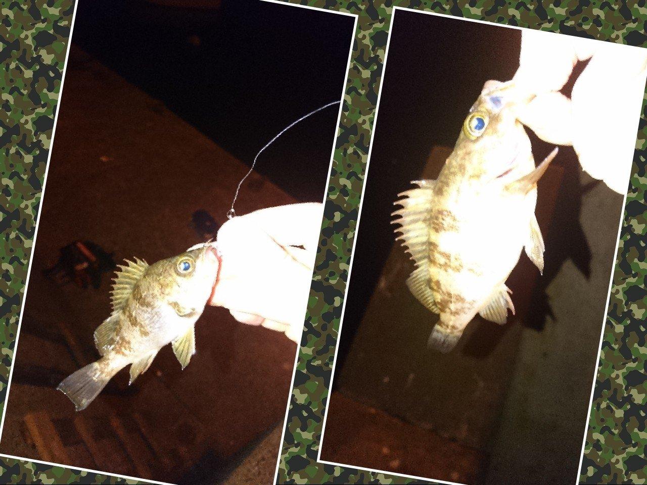 taylorさんの投稿画像,写っている魚はメバル