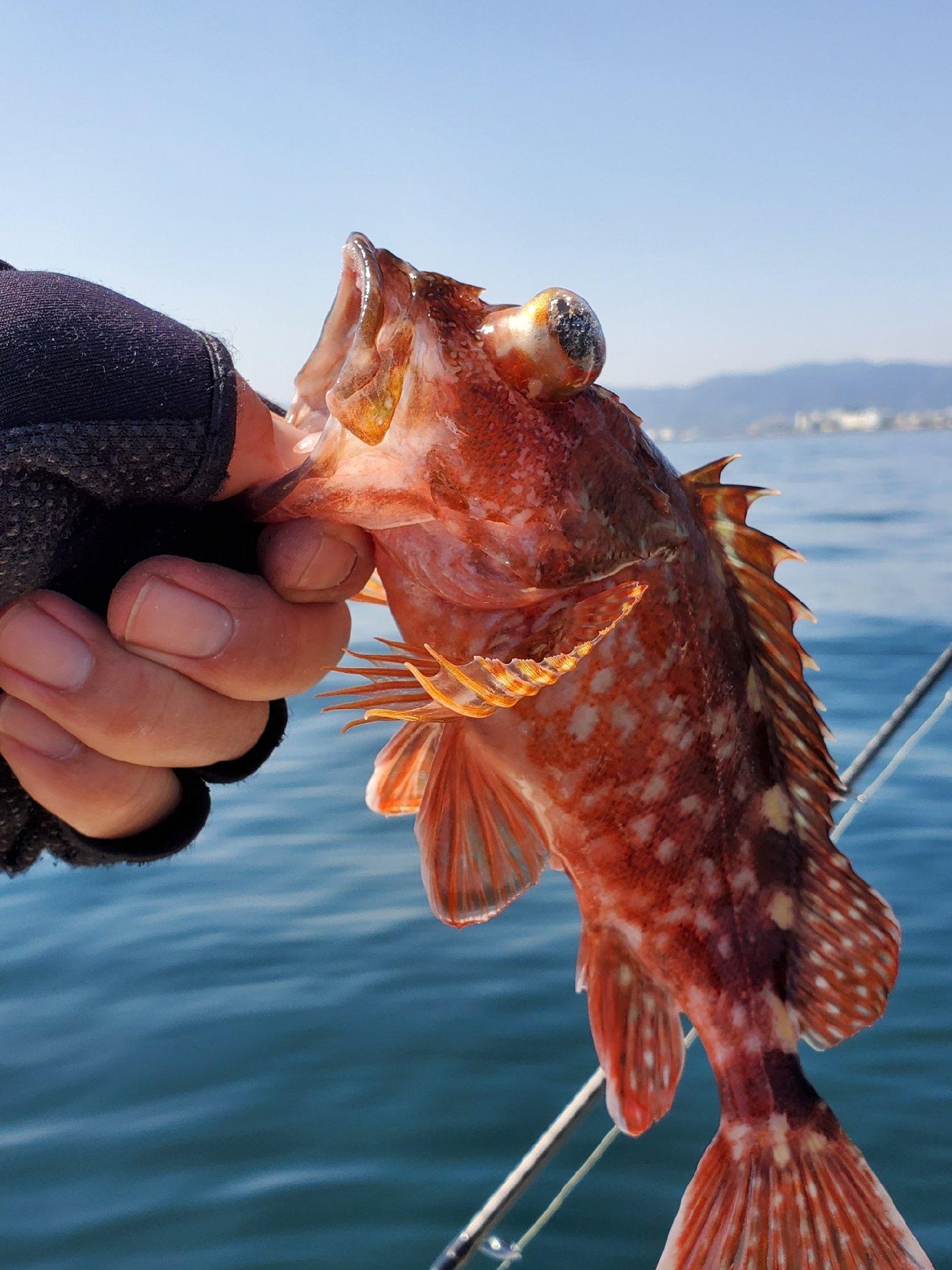 シナンジュさんの投稿画像,写っている魚はカサゴ