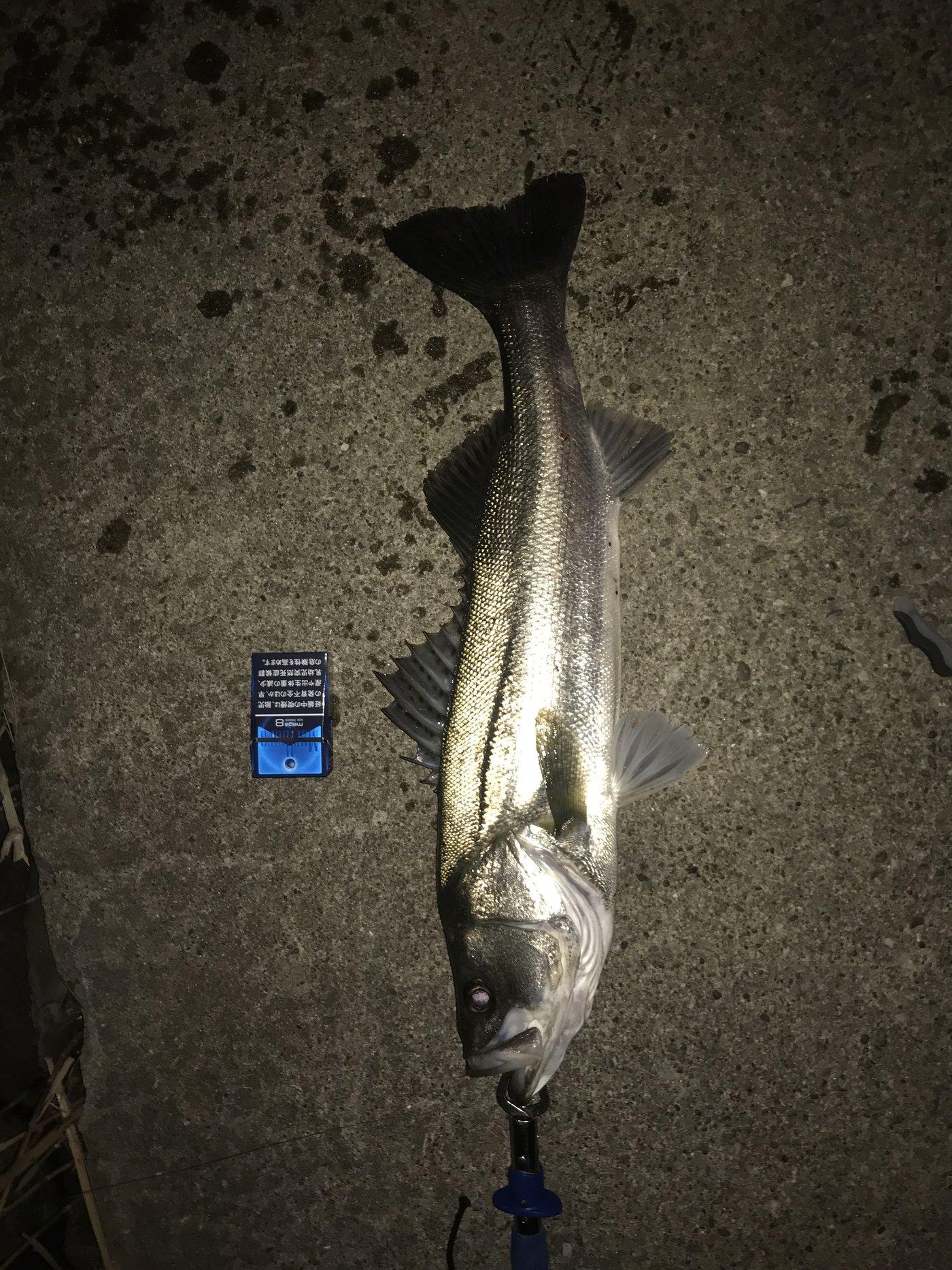 DaikiNmanさんの投稿画像,写っている魚はスズキ