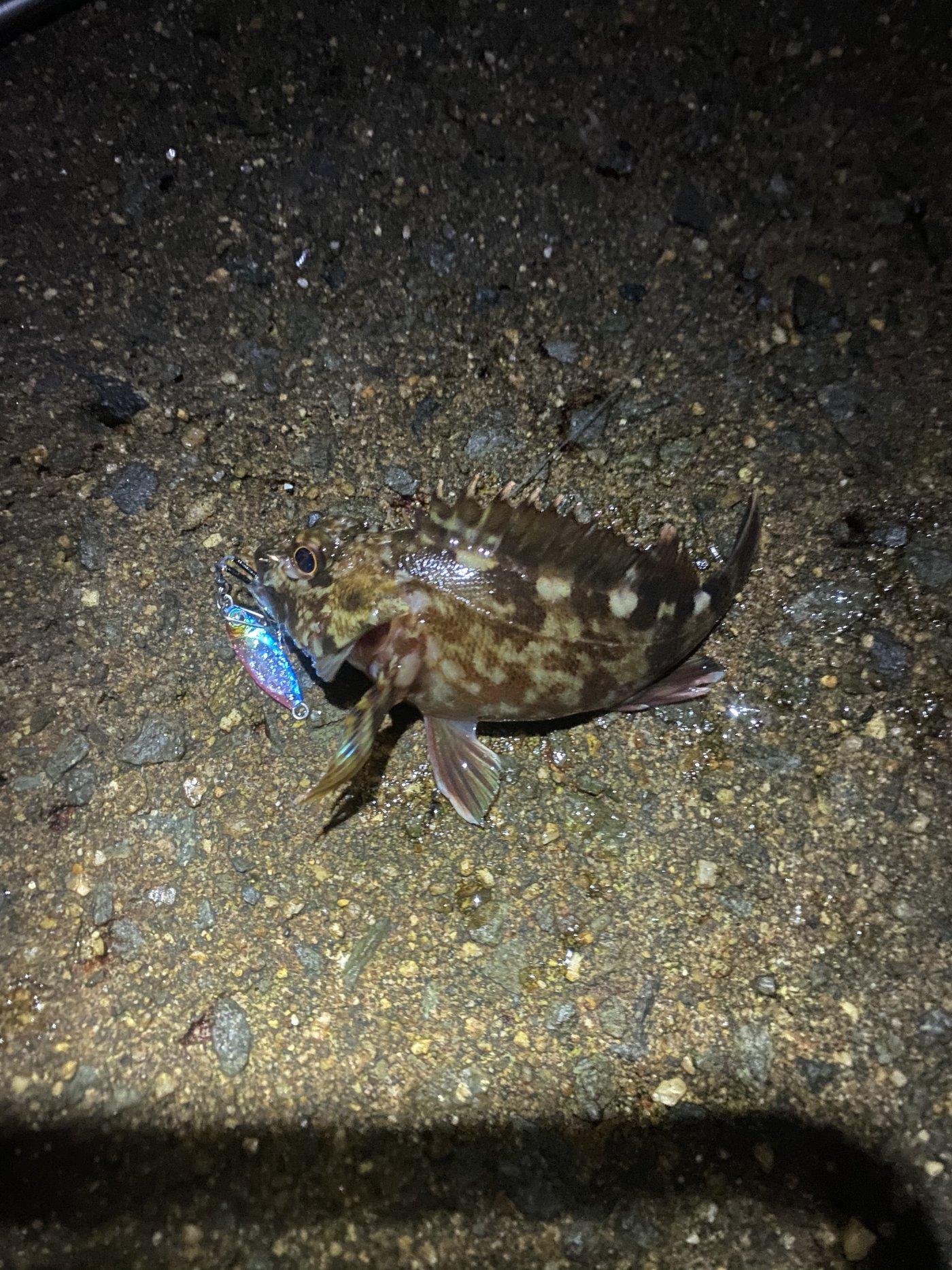 タノさんの投稿画像,写っている魚はカサゴ