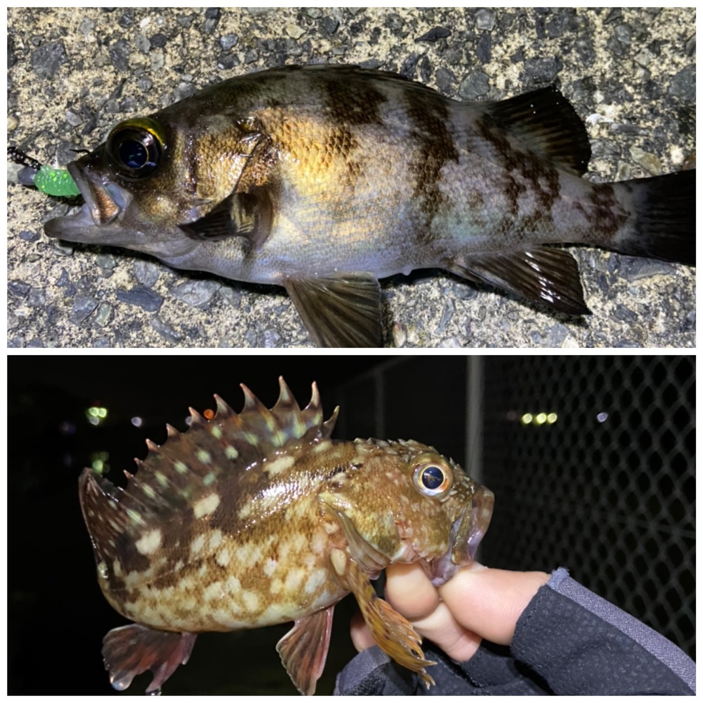 えびちゃん❗️さんの投稿画像,写っている魚はメバル,カサゴ