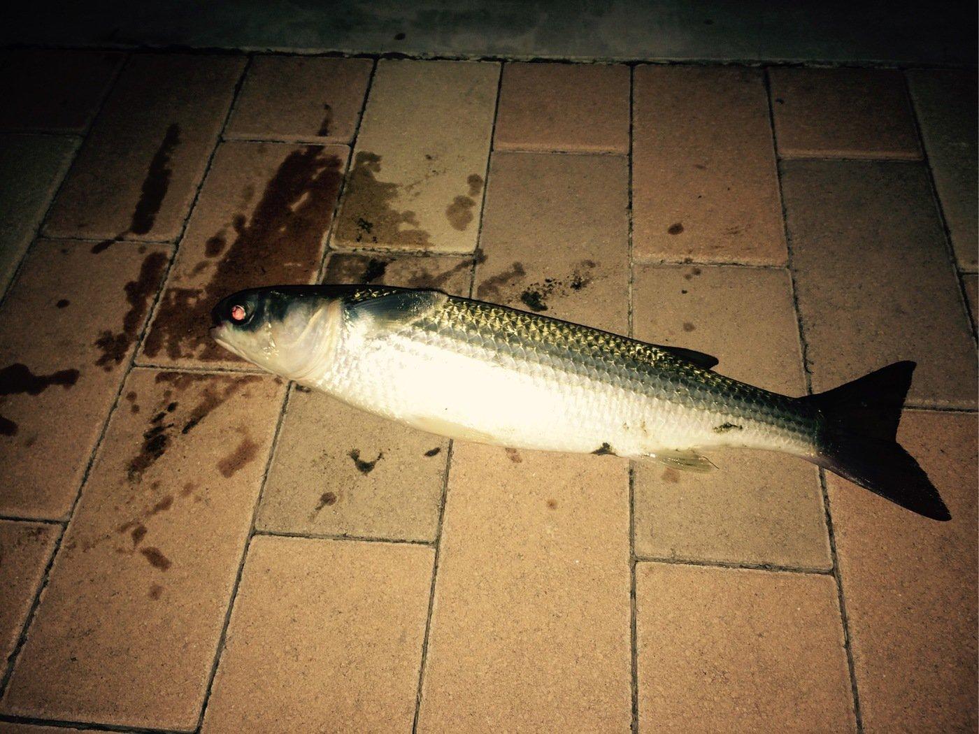 めるさんの投稿画像,写っている魚はボラ