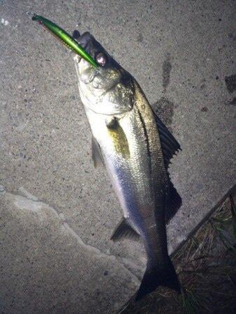 スズキリさんの投稿画像,写っている魚はスズキ