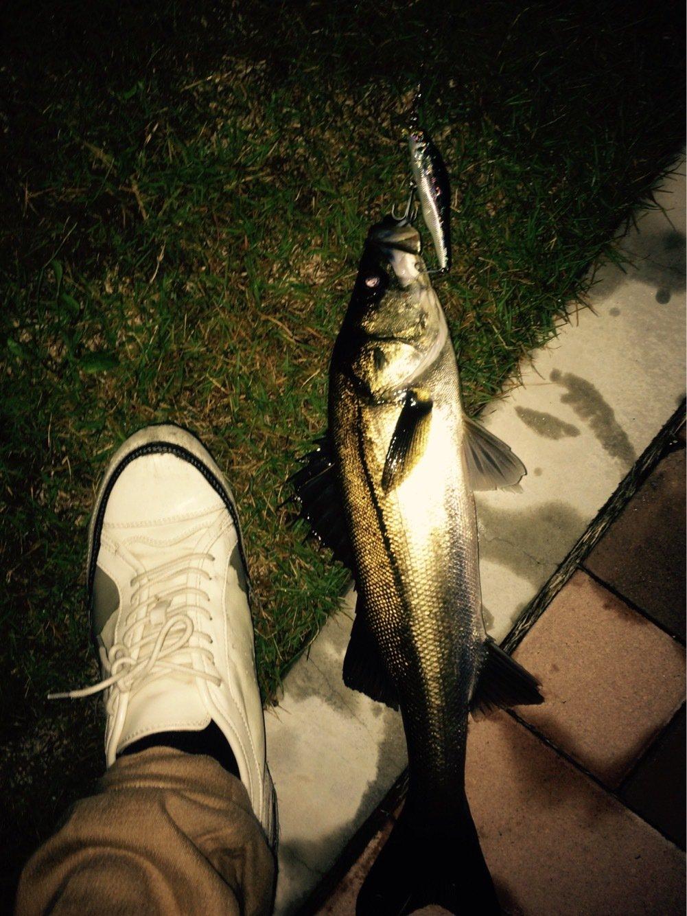 めるさんの投稿画像,写っている魚はスズキ