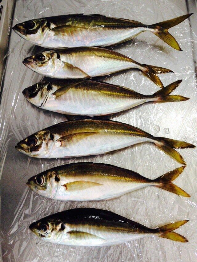 めるさんの投稿画像,写っている魚はアジ