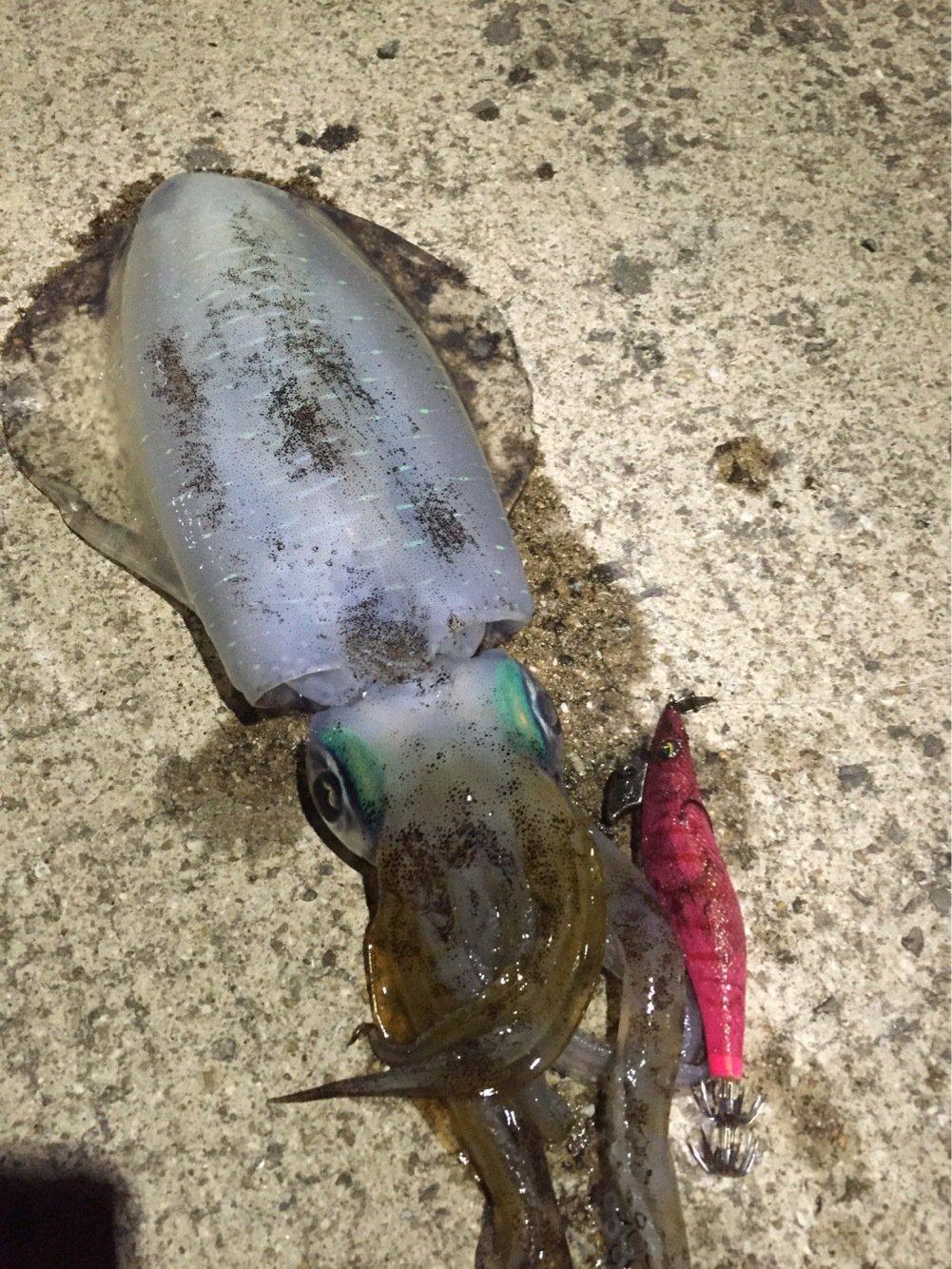 Ryutoさんの投稿画像,写っている魚はアオリイカ