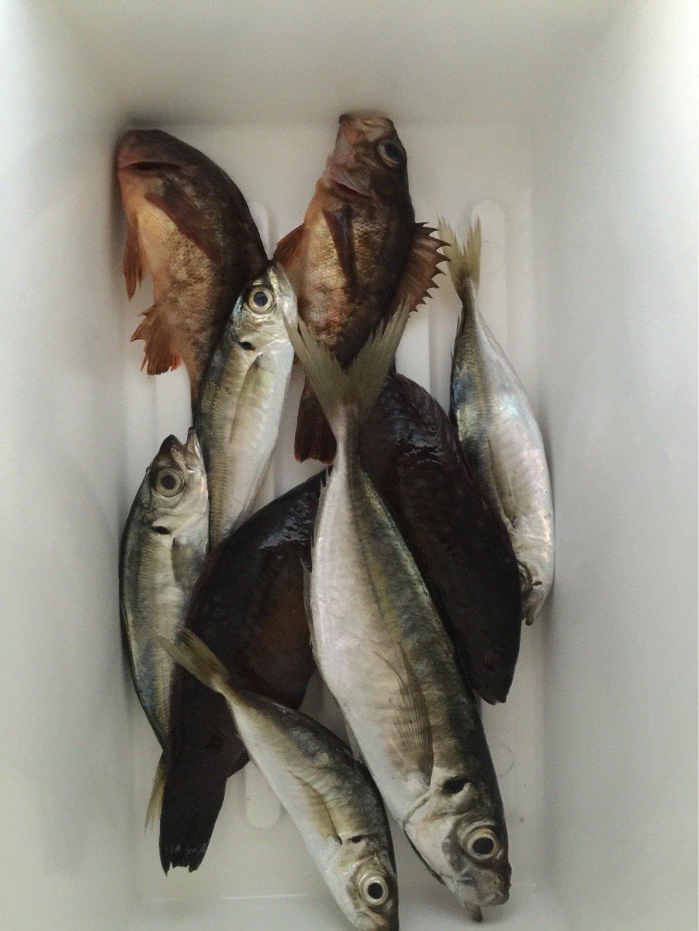 Redhorseさんの投稿画像,写っている魚はアジ