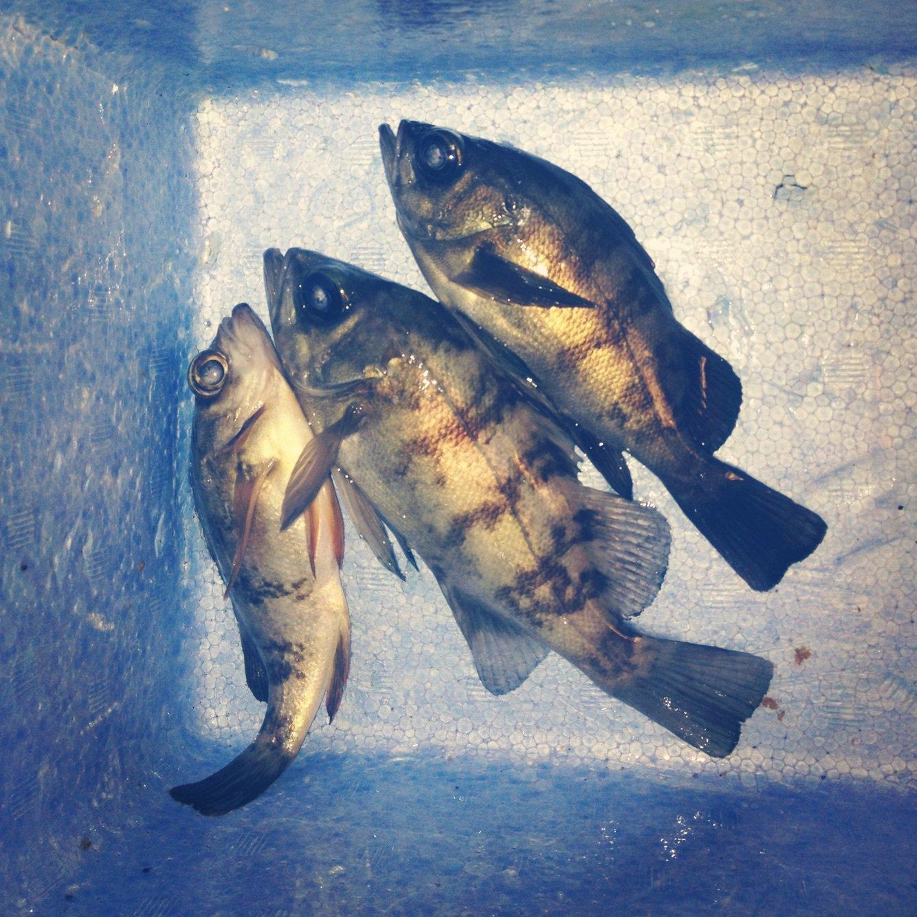 Takaさんの投稿画像,写っている魚はメバル
