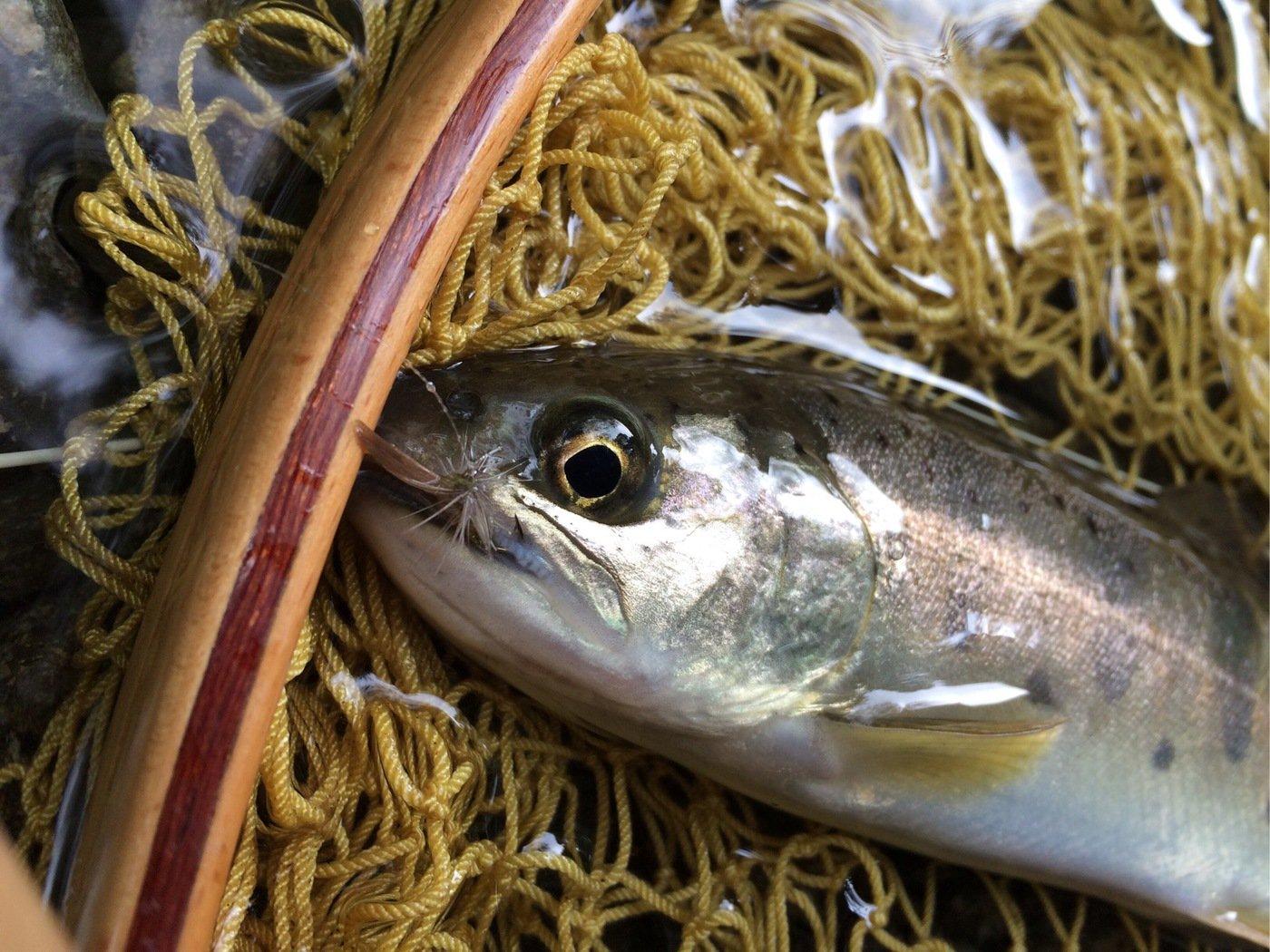 TAKAさんの投稿画像,写っている魚はヤマメ