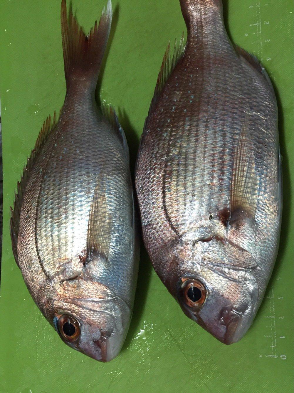 sJimさんの投稿画像,写っている魚はマダイ
