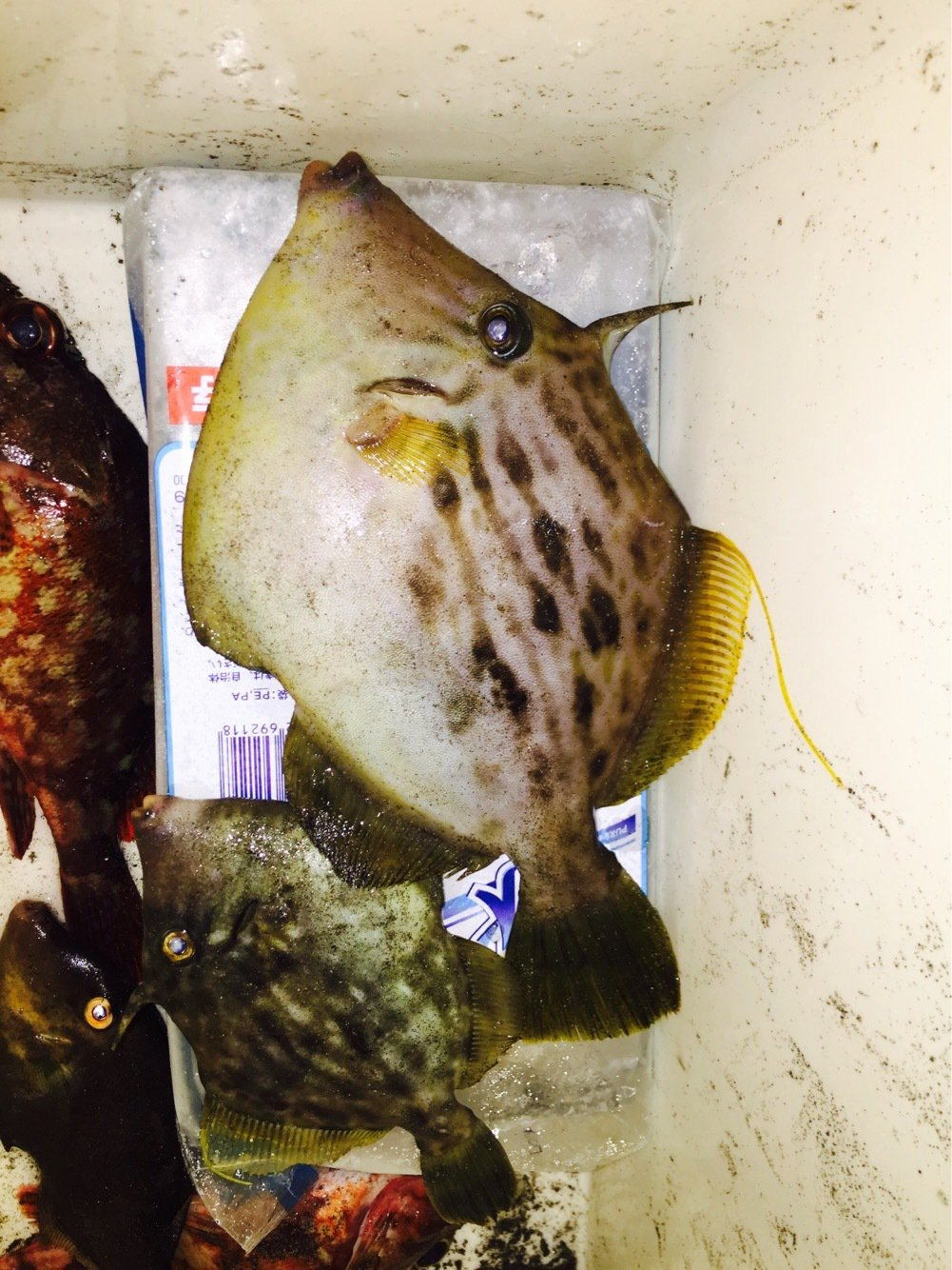 KIM2さんの投稿画像,写っている魚はカワハギ