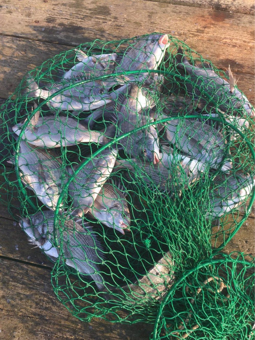 チヌの知さんの投稿画像,写っている魚は