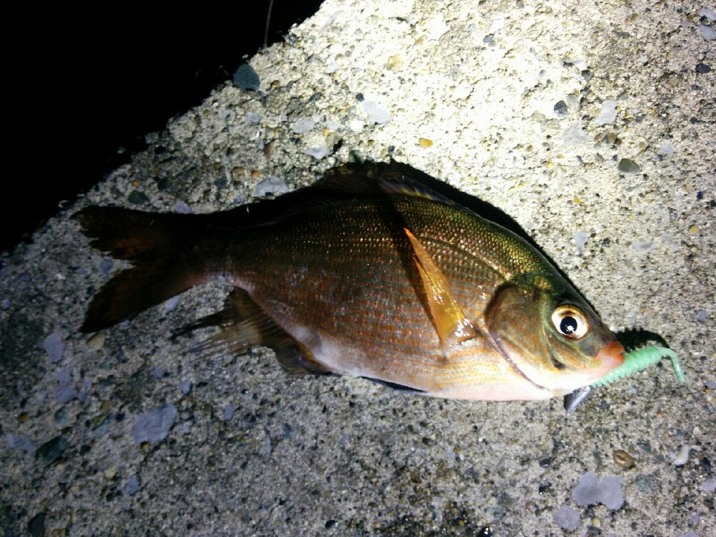 ひろヒロさんの投稿画像,写っている魚はウミタナゴ
