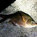 ひろヒロさんの神奈川県横須賀市でのウミタナゴの釣果写真