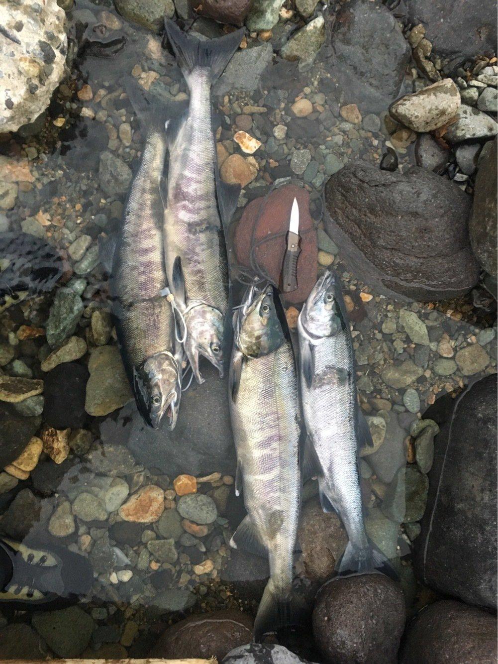 メガネのひげ男さんの投稿画像,写っている魚はサケ