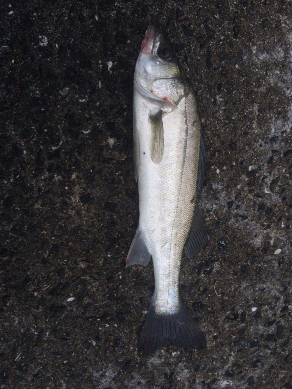 cozさんの投稿画像,写っている魚はスズキ