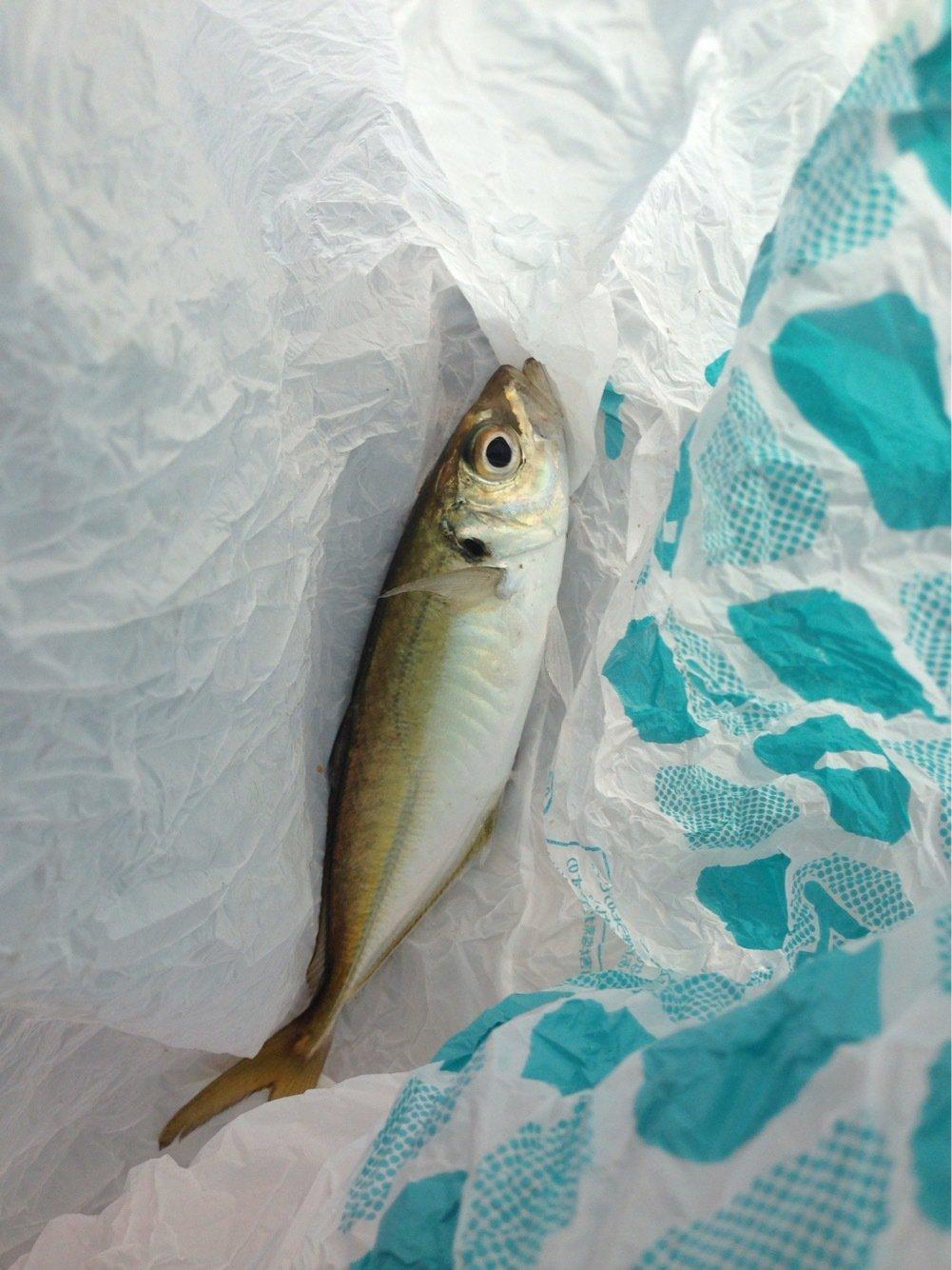 南さんの投稿画像,写っている魚はアジ