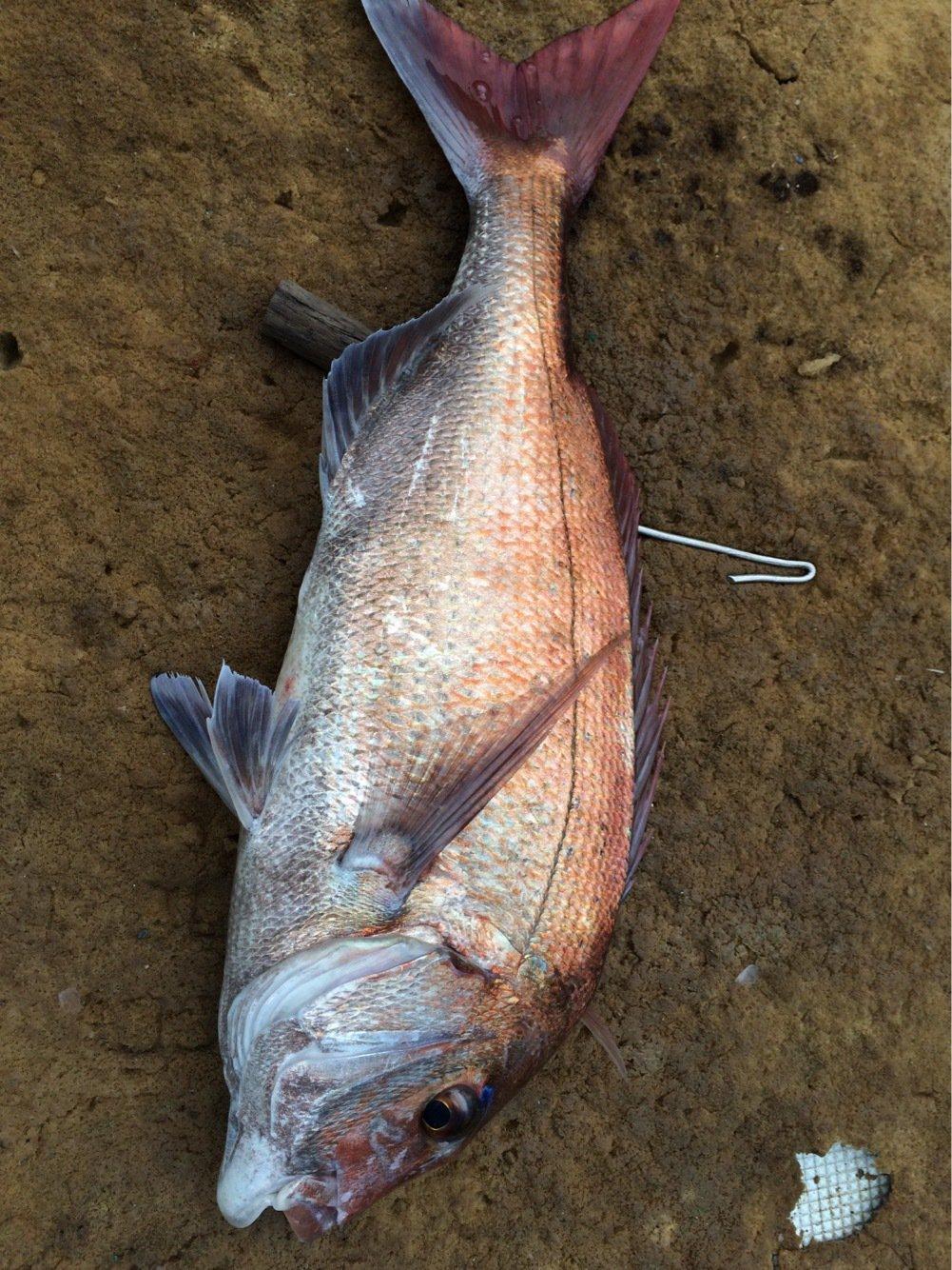 今さらねづっちさんの投稿画像,写っている魚は