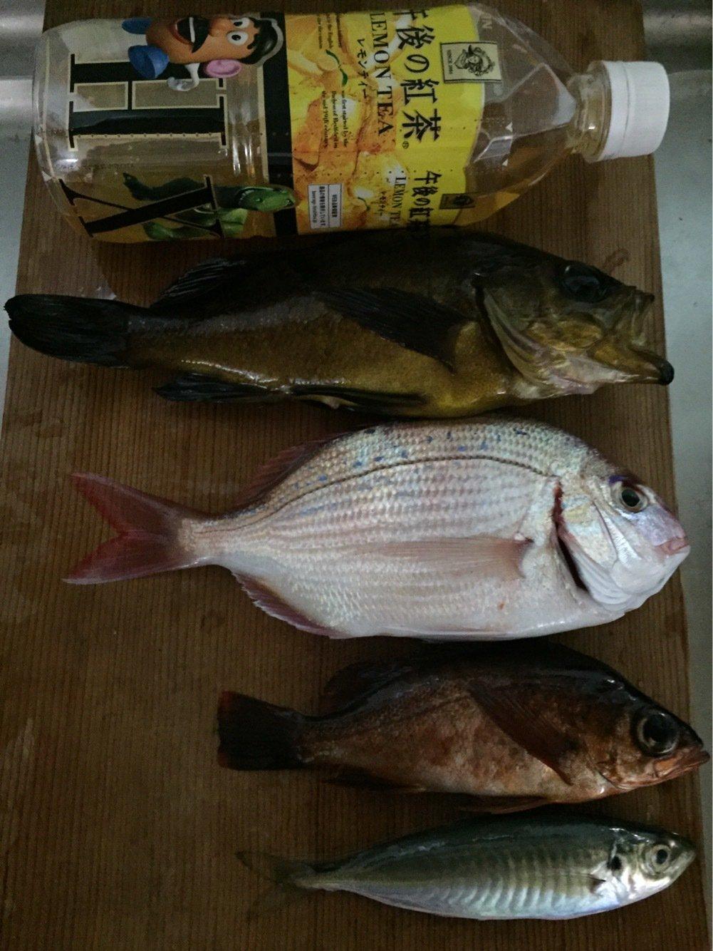 釣りキチさんの投稿画像,写っている魚はメバル