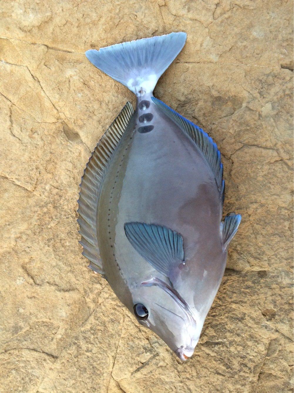 モリ男さんの投稿画像,写っている魚はニザダイ
