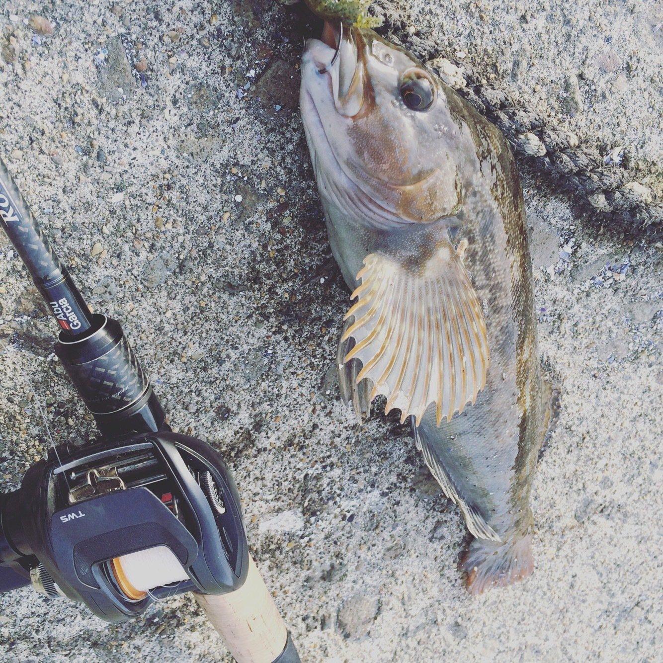 オカタクさんの投稿画像,写っている魚はアイナメ
