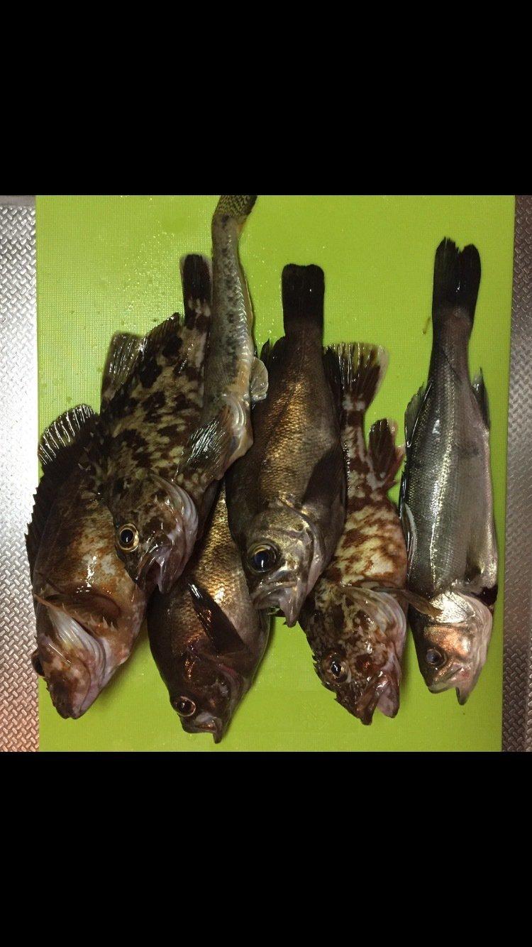 ようすけさんの投稿画像,写っている魚はメバル