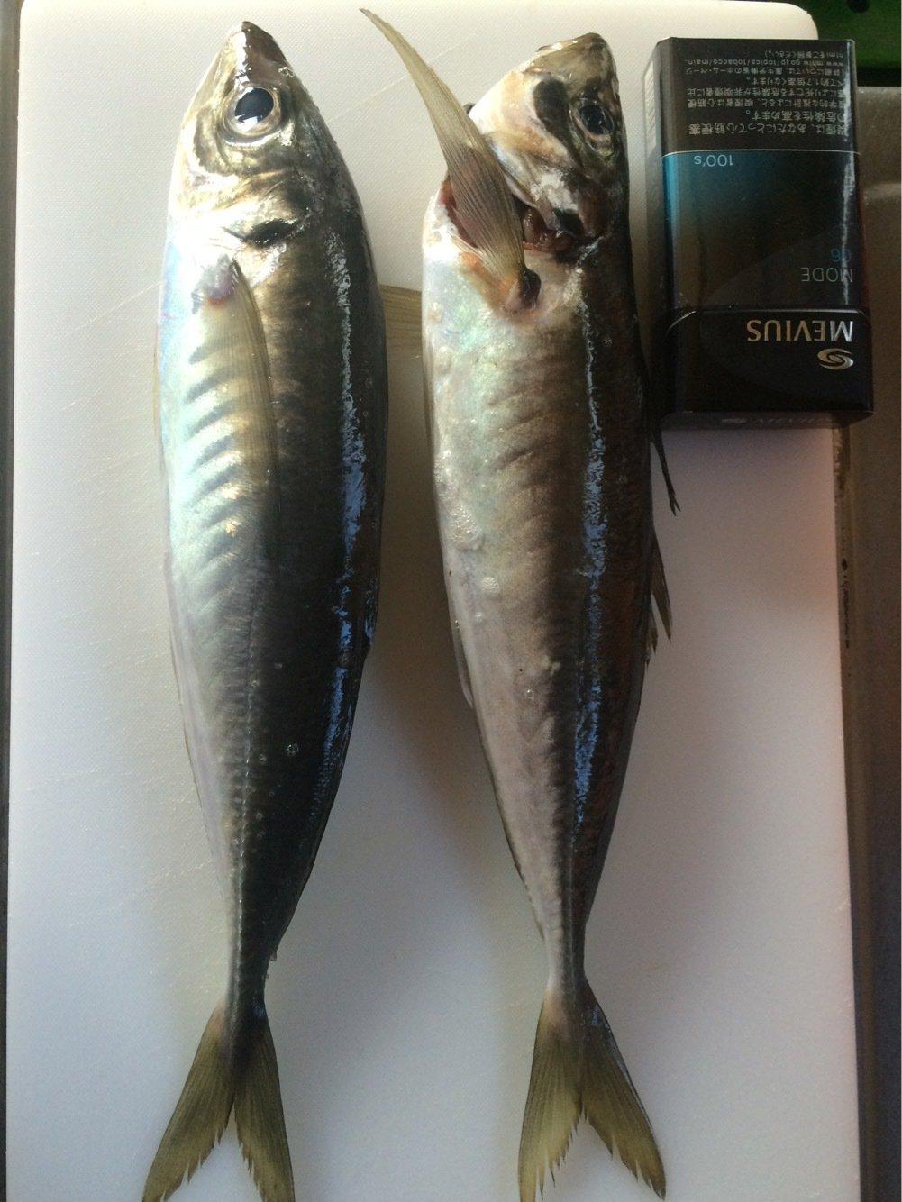 postさんの投稿画像,写っている魚はアジ