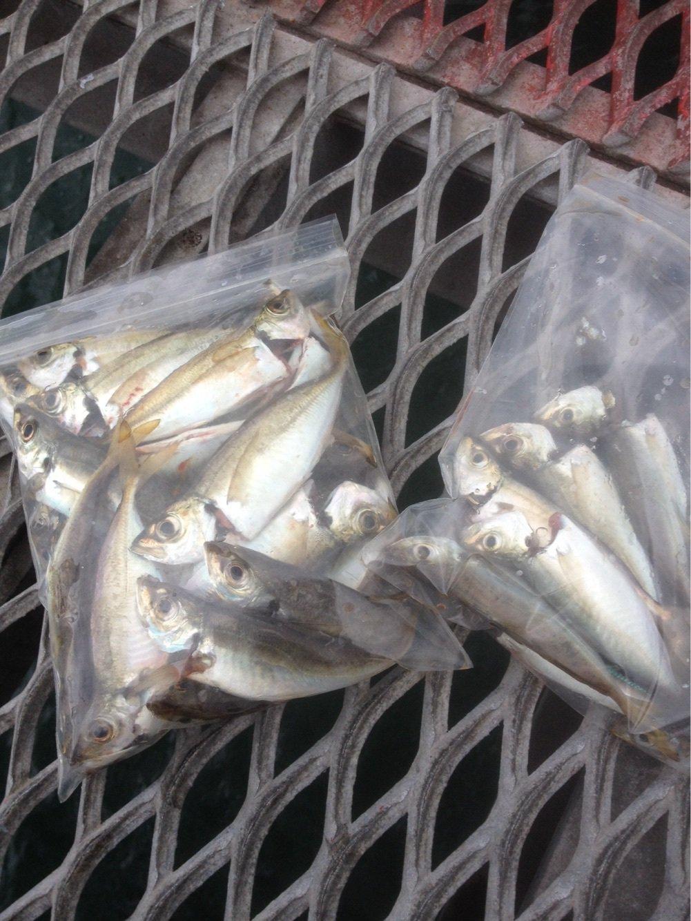 タラコさんの投稿画像,写っている魚は
