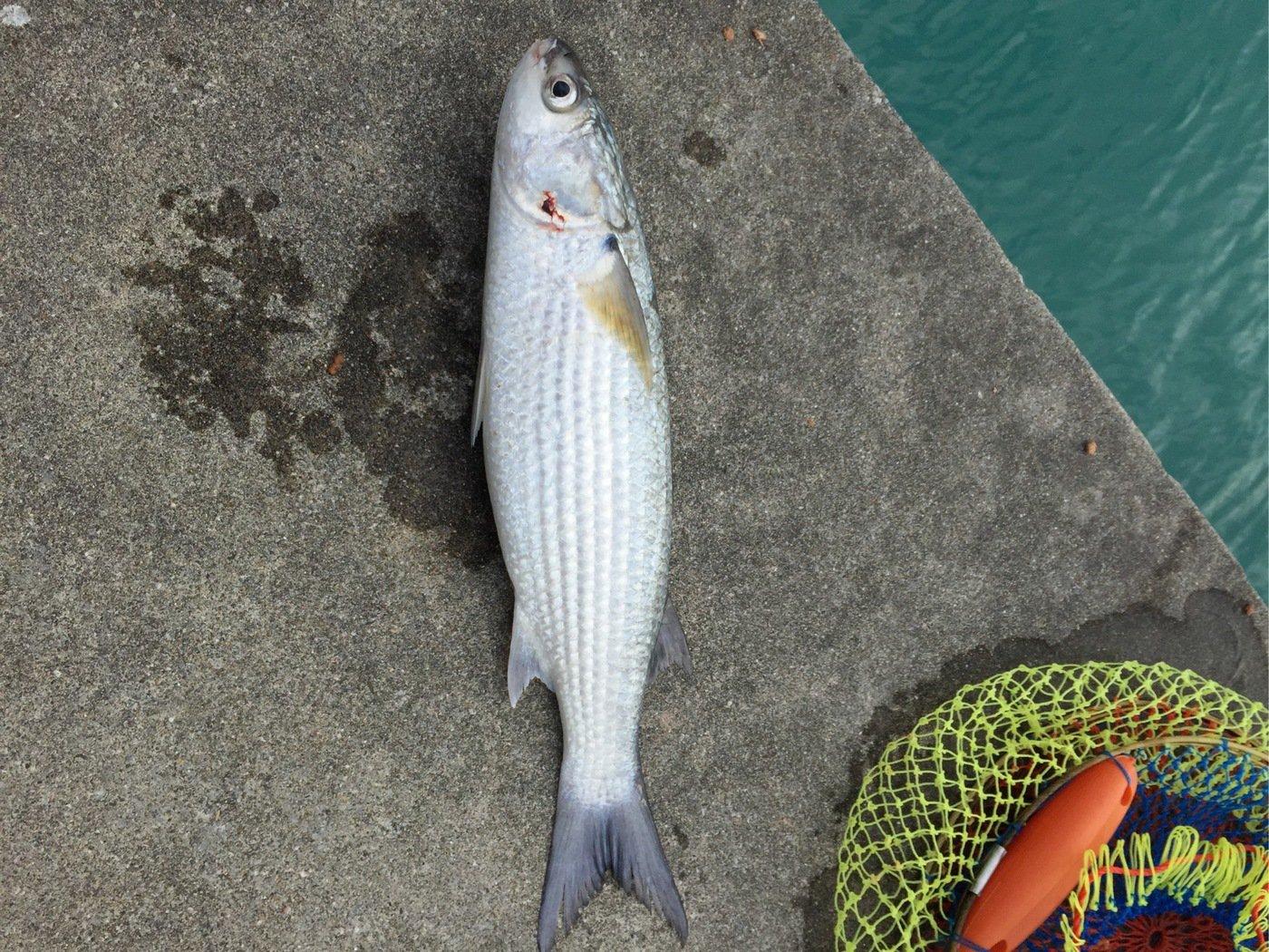 ハジメさんの投稿画像,写っている魚はボラ