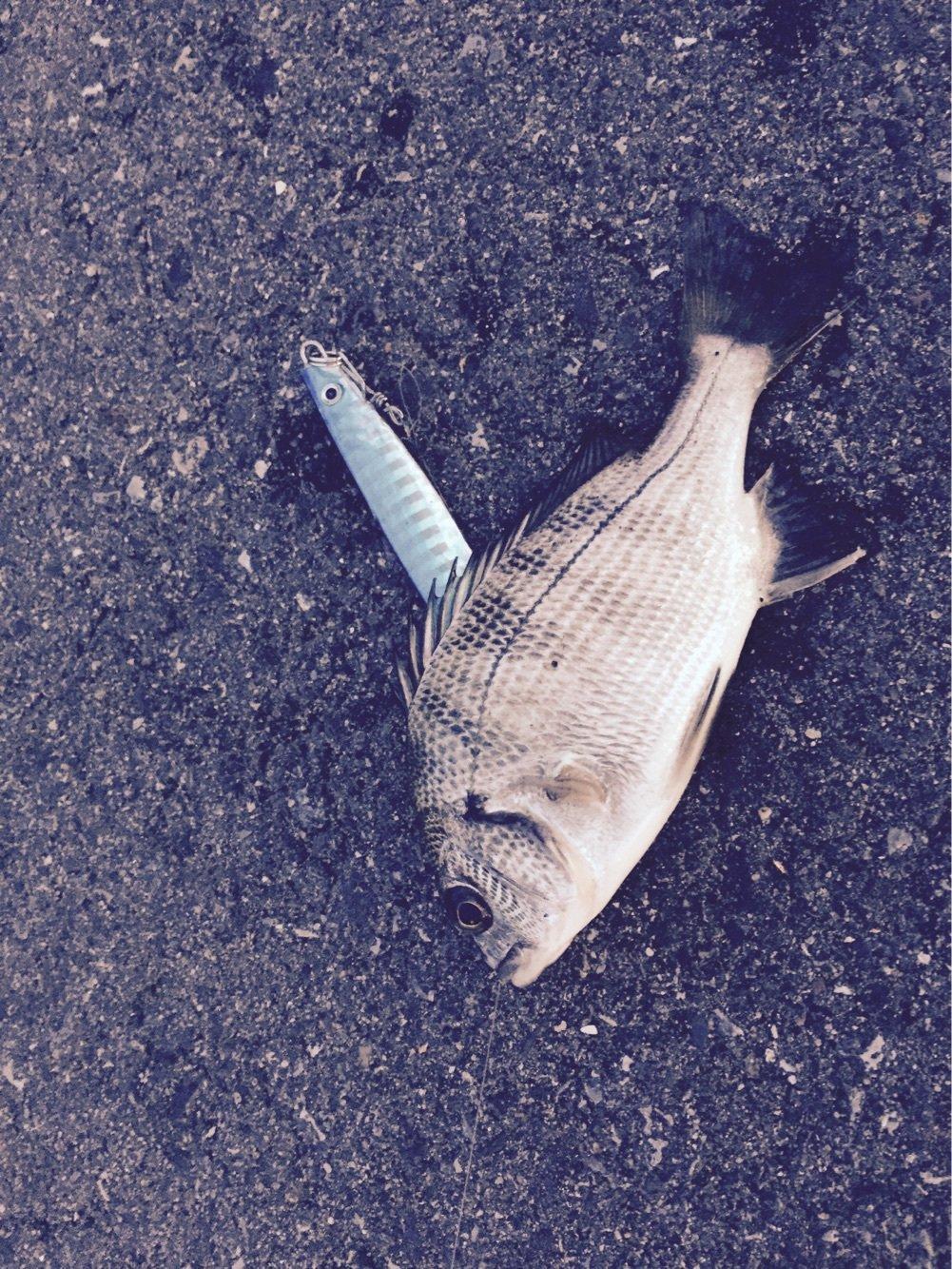 井口信之輔さんの投稿画像,写っている魚はクロダイ