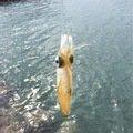 kenさんの沖縄県那覇市でのアオリイカの釣果写真