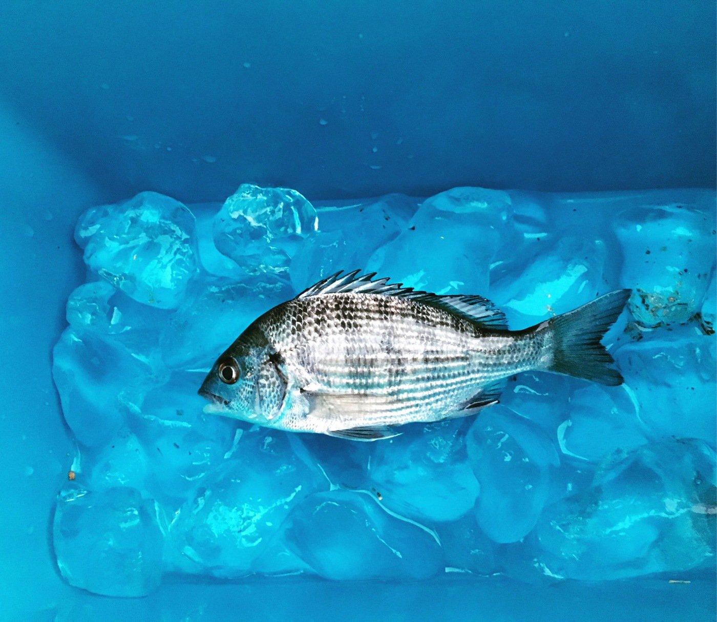 ささくみさんの投稿画像,写っている魚はクロダイ
