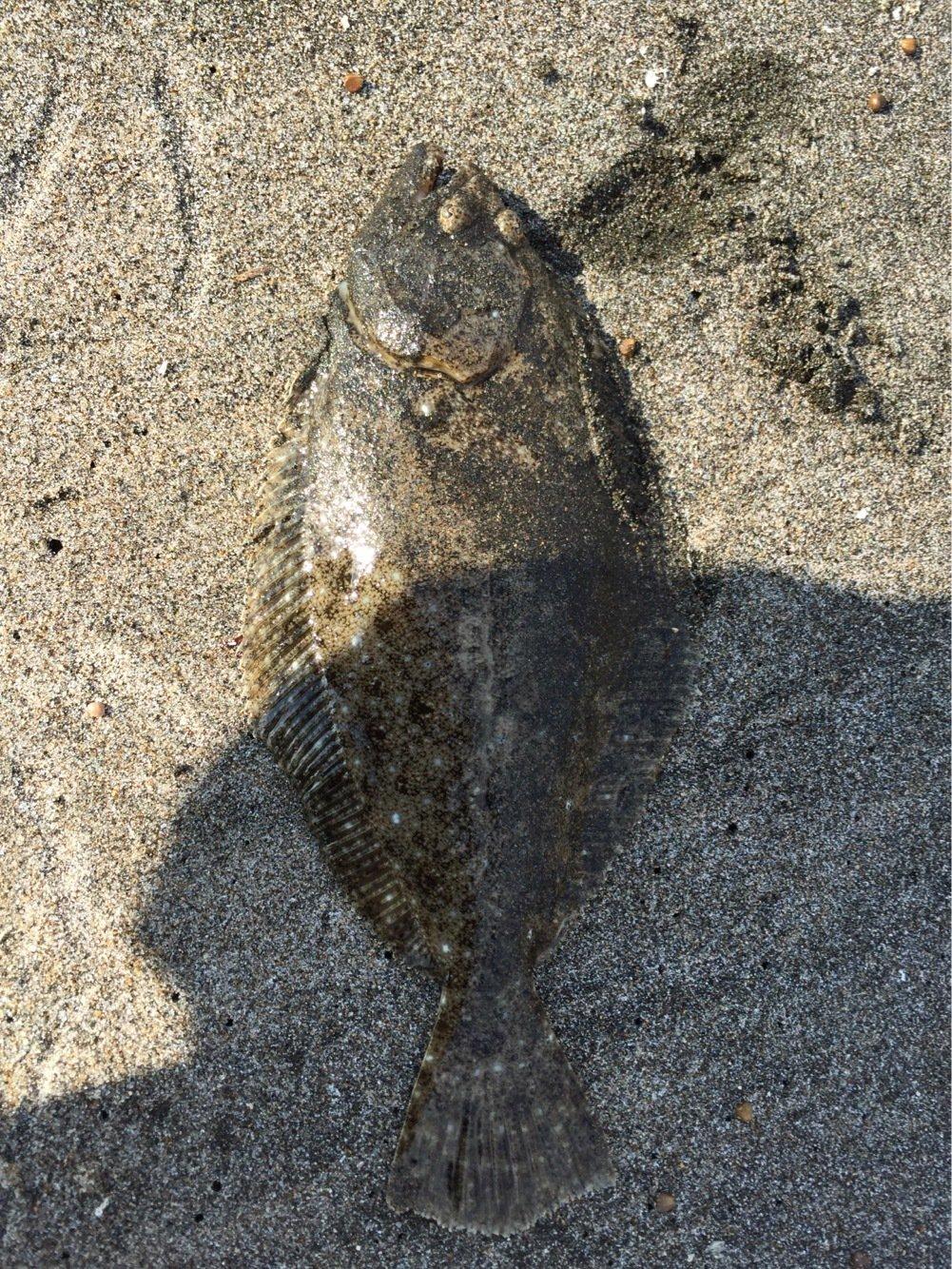 さかなやはなやさんの投稿画像,写っている魚はヒラメ