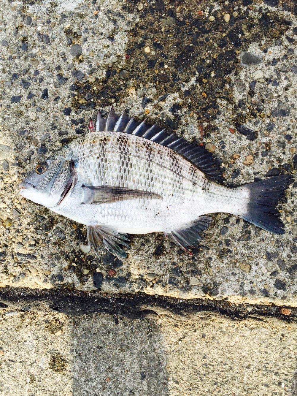 吉ぞーさんの投稿画像,写っている魚はクロダイ