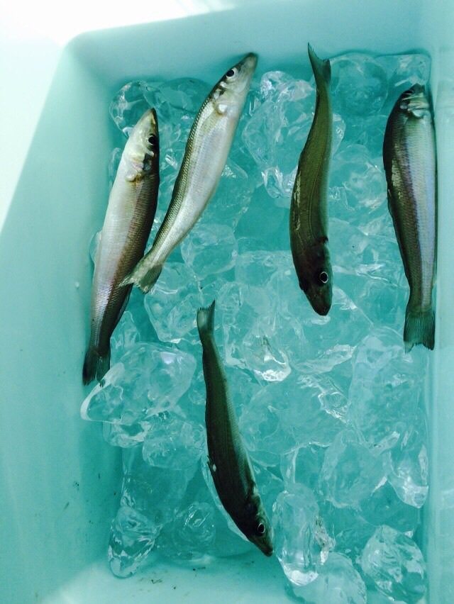 けーちゃんさんの投稿画像,写っている魚はシロギス