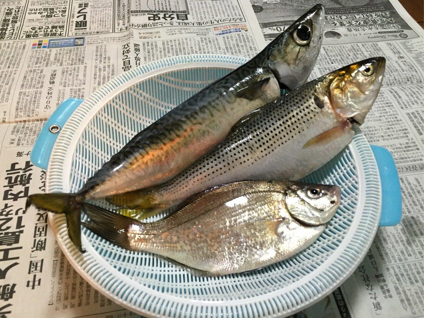 kreutsさんの投稿画像,写っている魚はマサバ