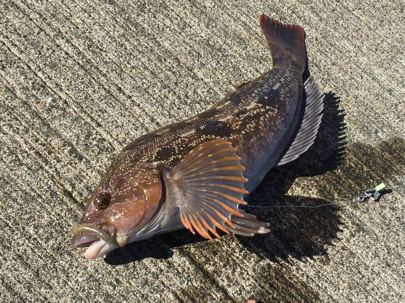 鈴木芳彦さんの投稿画像,写っている魚はアイナメ