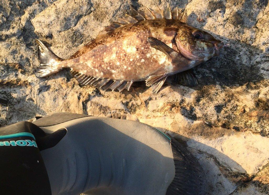 釣りバカダンナさんの投稿画像,写っている魚はアイゴ