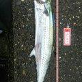 叉焼さんの新潟県燕市での釣果写真