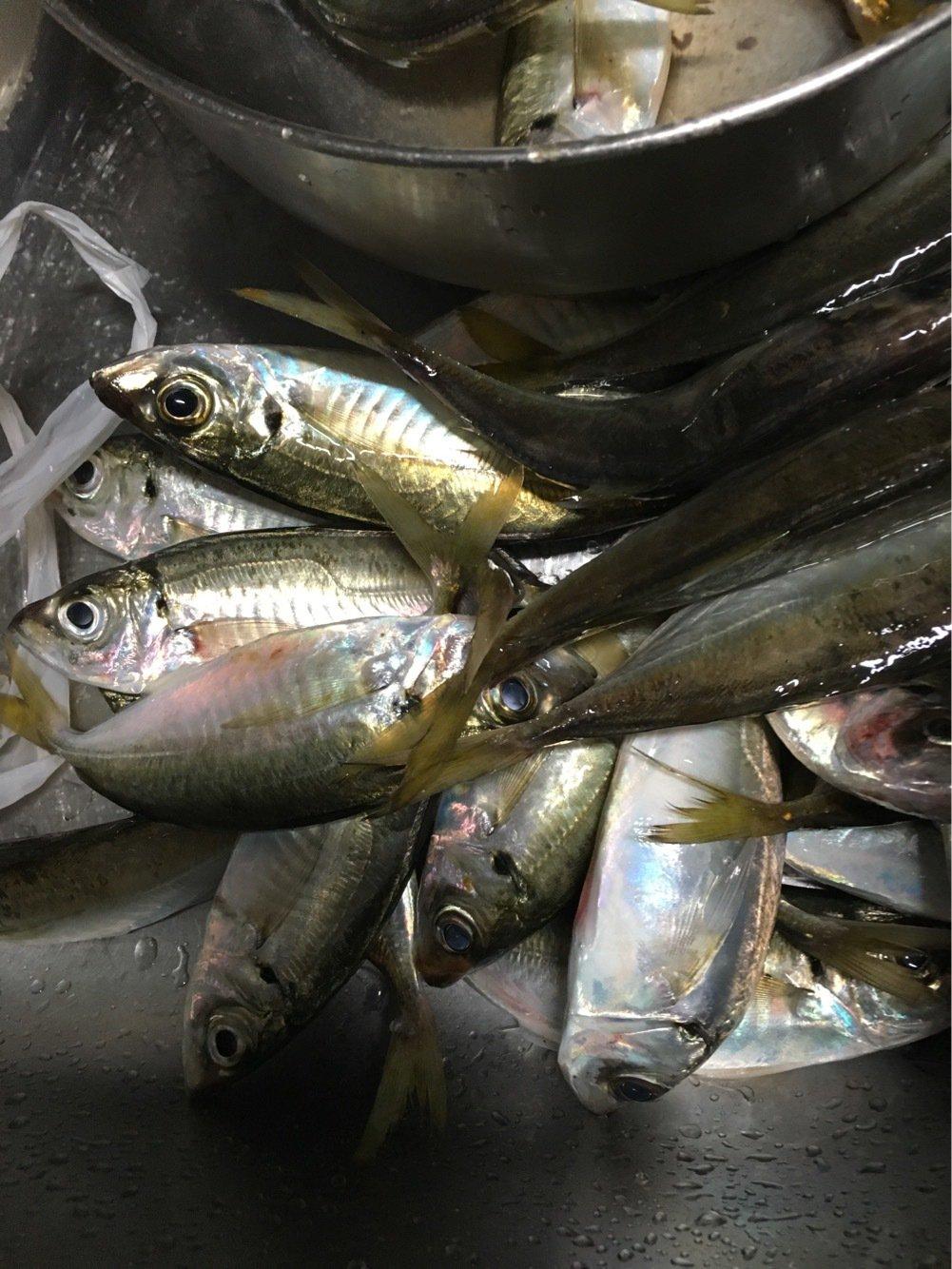 ローレルさんの投稿画像,写っている魚はシマアジ