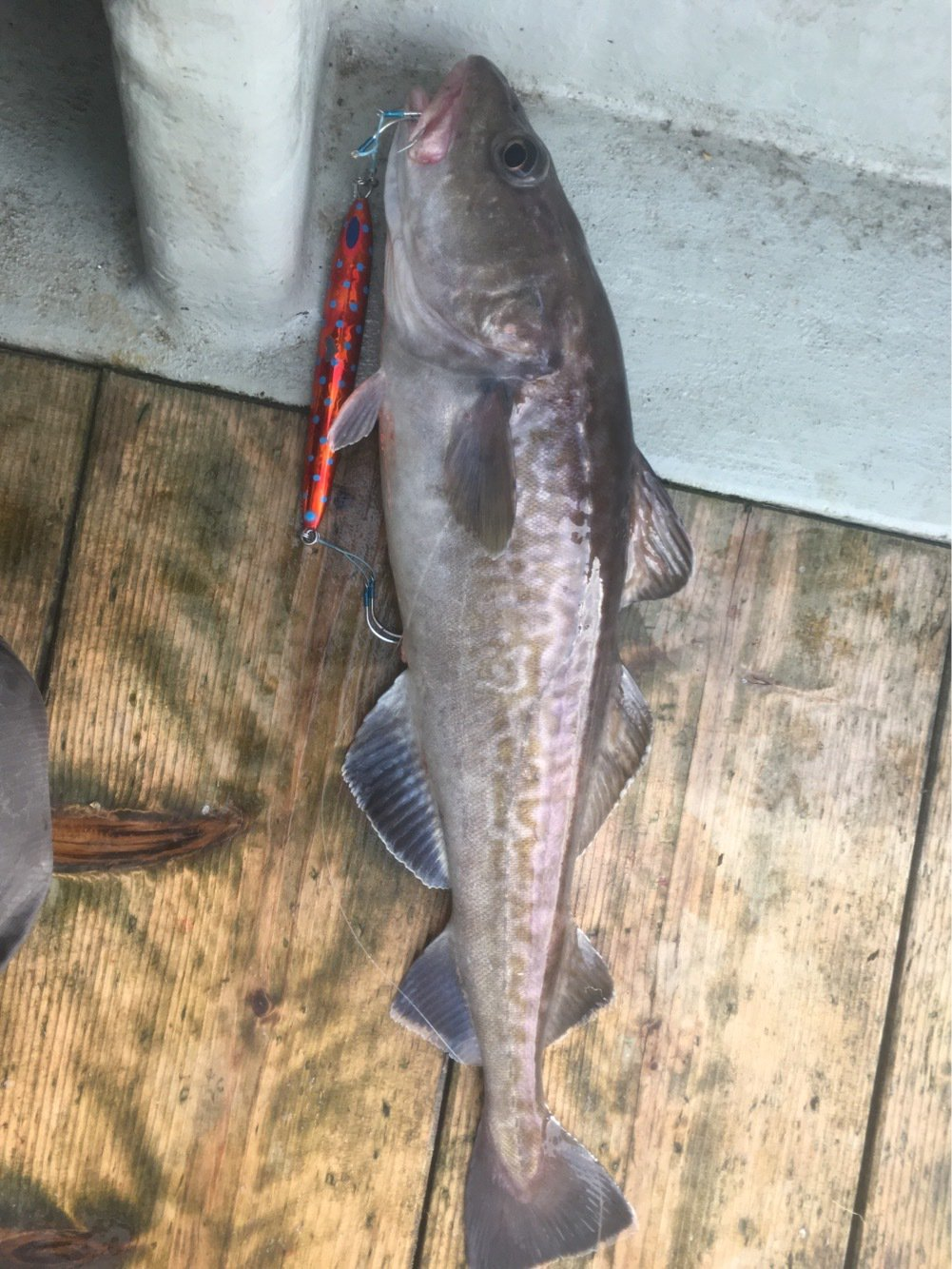 むらひろさんの投稿画像,写っている魚はマダラ