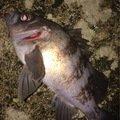 ささきょんさんの青森県北津軽郡でのシロメバルの釣果写真
