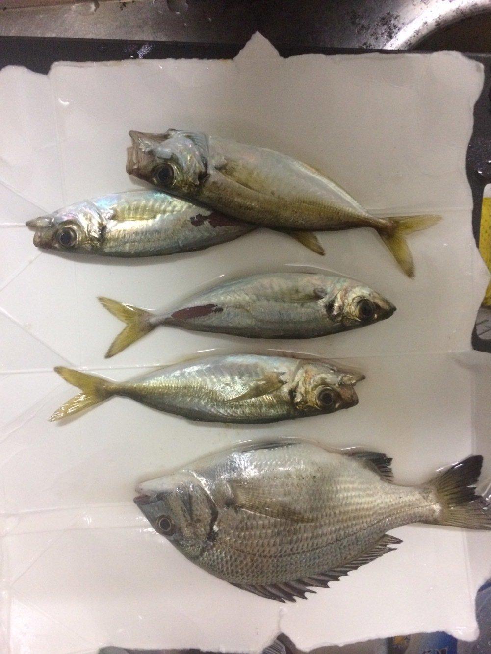 けんさんの投稿画像,写っている魚はクロダイ