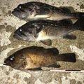 フォルテッシモさんの青森県上北郡でのシロメバルの釣果写真