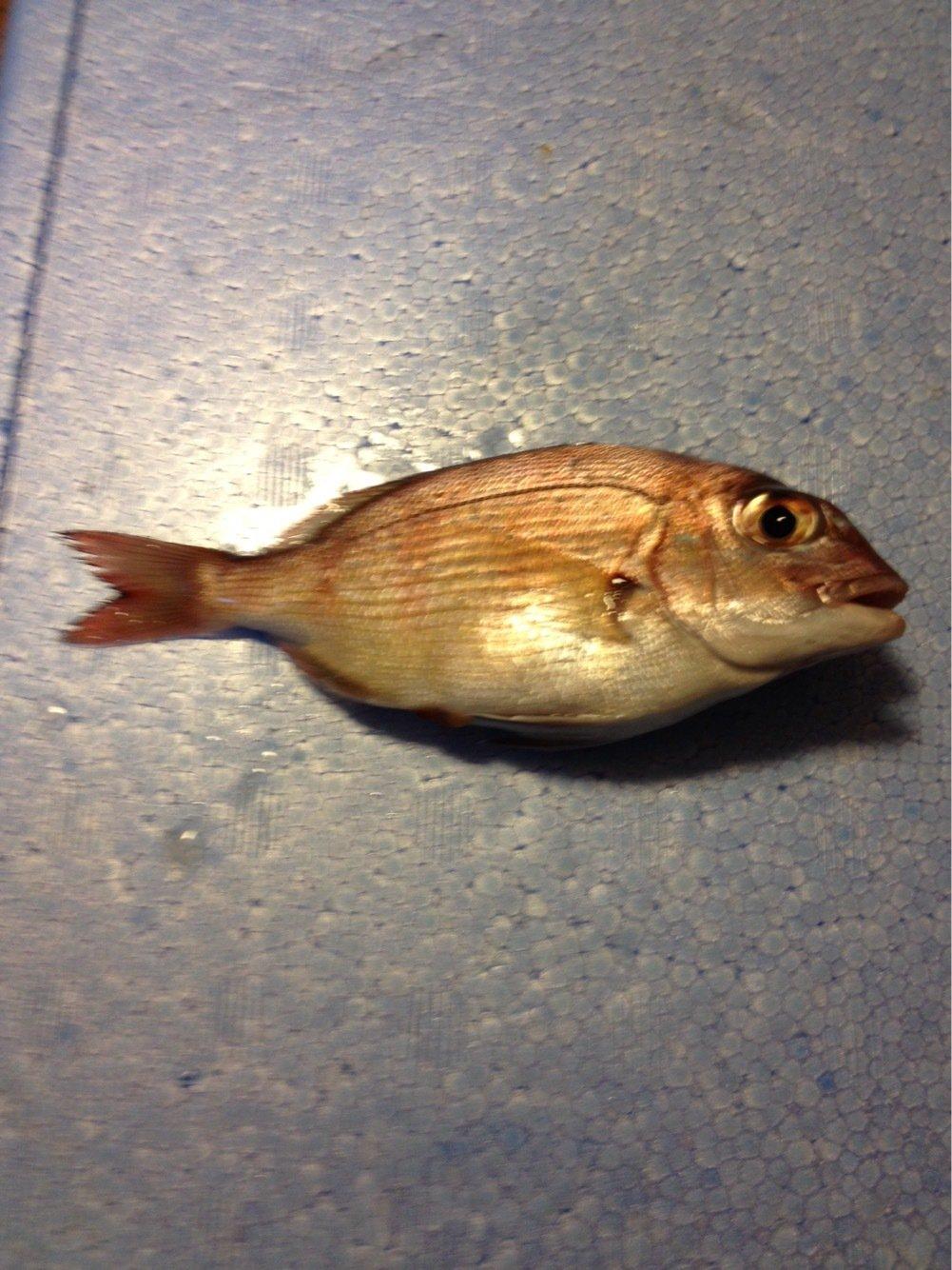 エマニエルさんの投稿画像,写っている魚はマダイ