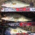 てんたさんの福岡県八女郡での釣果写真