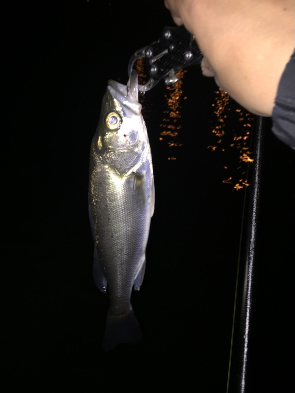 まるこさんの投稿画像,写っている魚はスズキ