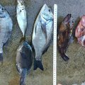 アドルさんの福岡県京都郡での釣果写真
